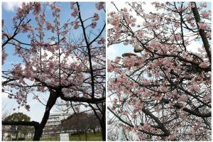 小林公園の桜